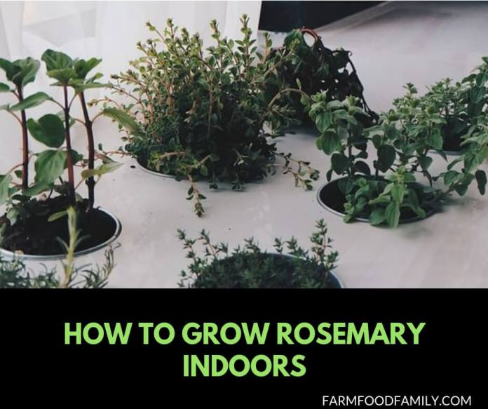 How to grow Rosemary Indoors from seeds