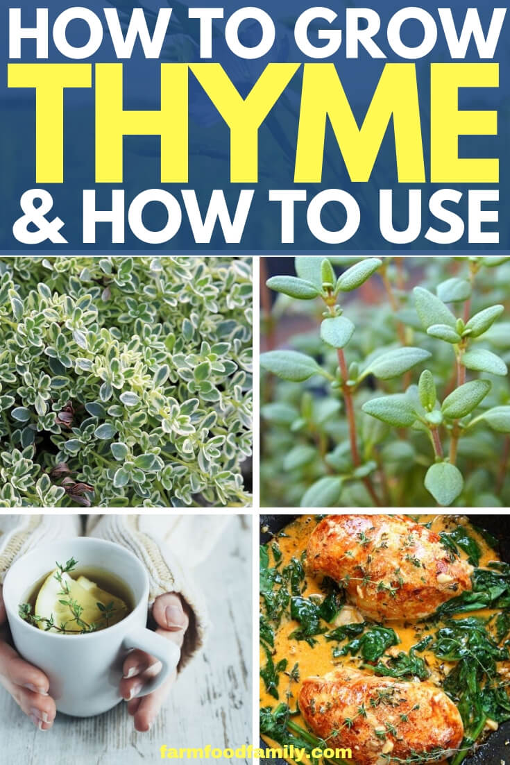 How to Grow Thyme from Seeds (Thymus vulgare, T. citriodorus, T. serphyllum, etc.)