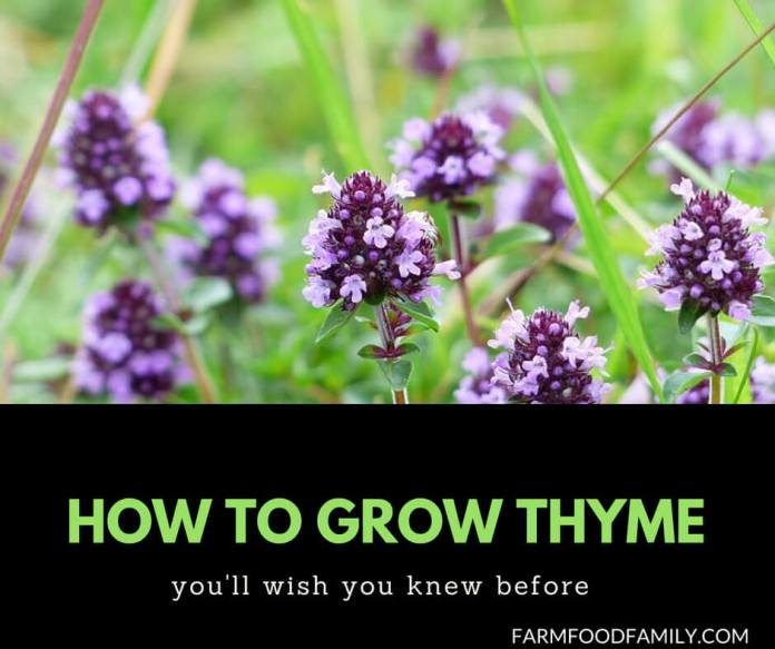 How to grow Thyme from seeds