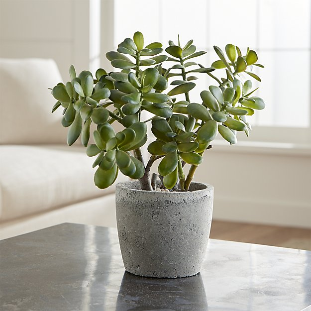 Jade plant | Child and Pet Safe Houseplants: Non-Toxic Indoor Plants | FarmFoodFamily