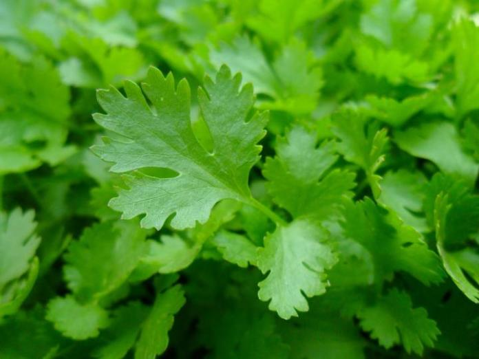 Parsley (Petroselinum spp.): Garden Herbs that Grow in the Shade