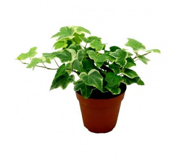 English Ivy: Breathe Easy with an Indoor Garden: Improve the Air Quality and Charm of Your Home with Houseplants