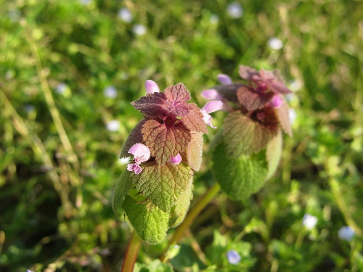 Dead Nettle (Lamium maculatum): Garden Herbs that Grow in the Shade
