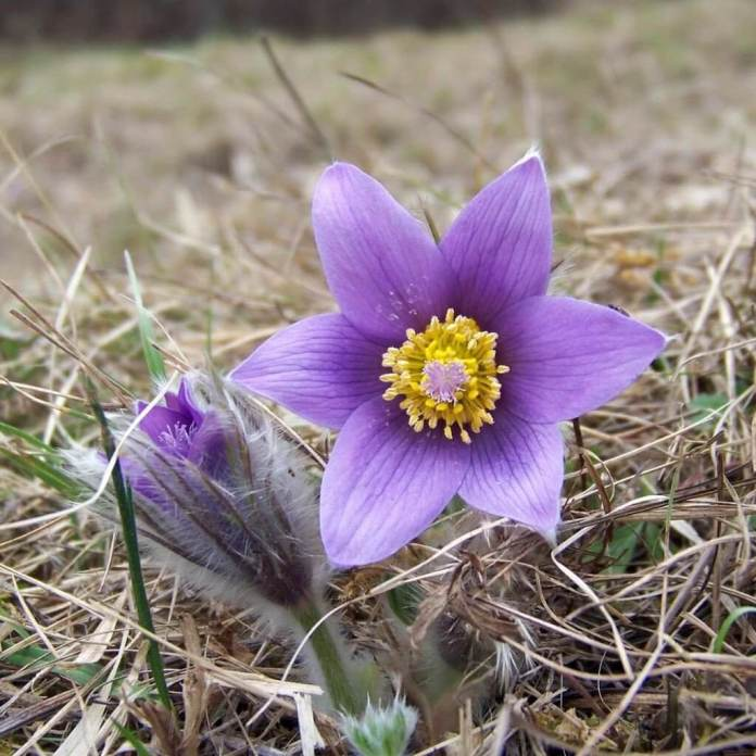 Pasque flower (Anemone pulsatilla) | Perennial Flowers All Season: Perennial Garden Design Guide for Blooms in Spring Summer and Fall