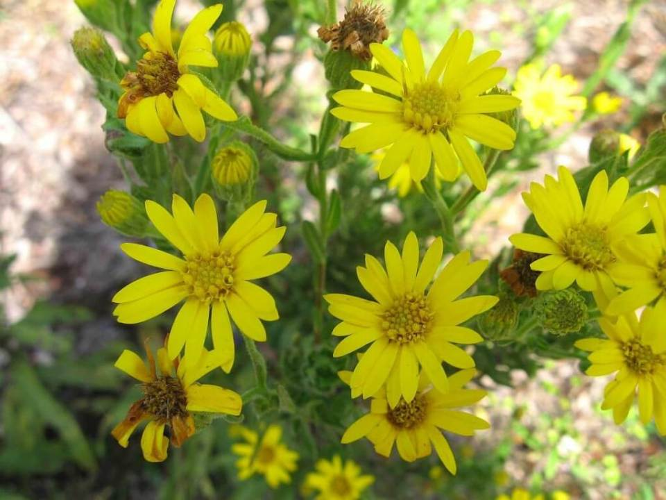 Golden Aster | Low-maintenance flowers and plants