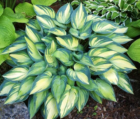 Hostas | Low-maintenance flowers and plants