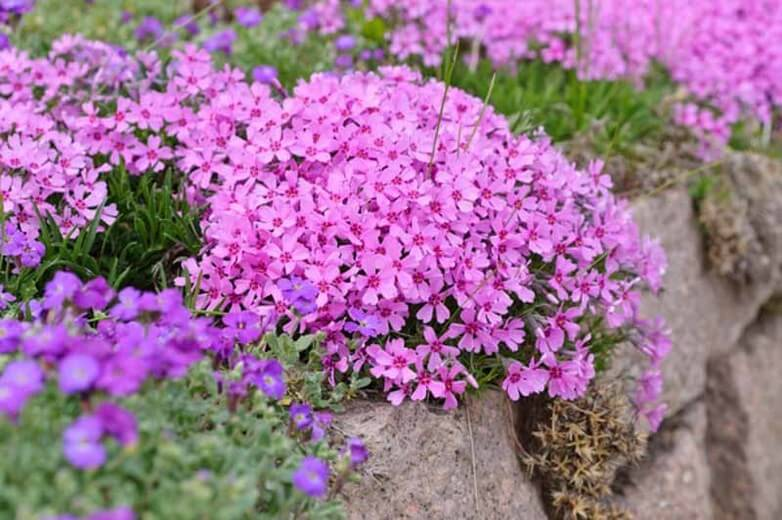Creeping phlox (Phlox subulata) | Perennial Flowers All Season: Perennial Garden Design Guide for Blooms in Spring Summer and Fall