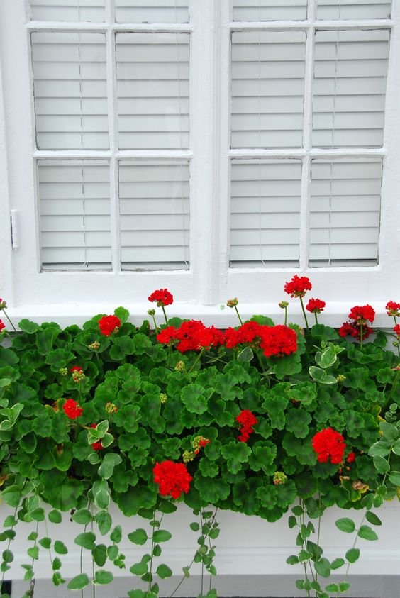 Red geraniums window box   Flower Garden Ideas for Containers and Windowboxes