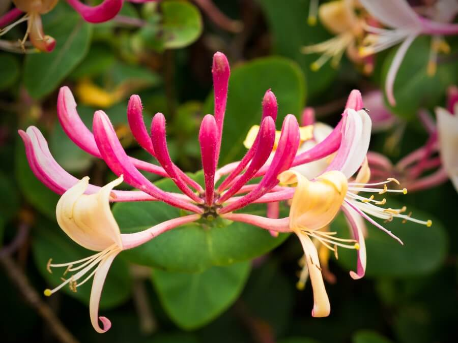 Honeysuckles | 10 the best butterfly attracting flowers