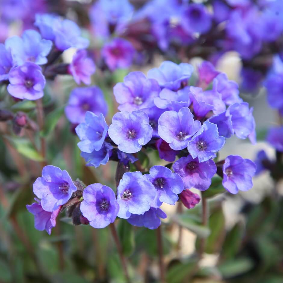 Lungwort (Pulmonaria) | Perennial Flowers All Season: Perennial Garden Design Guide for Blooms in Spring Summer and Fall