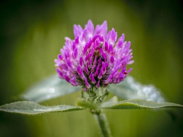 Red clover | 10 the best butterfly attracting flowers
