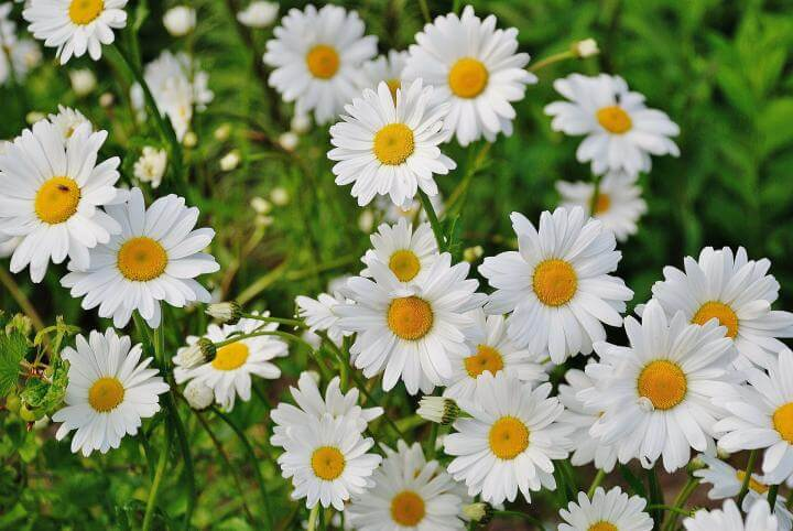 Daisies | 10 the best butterfly attracting flowers