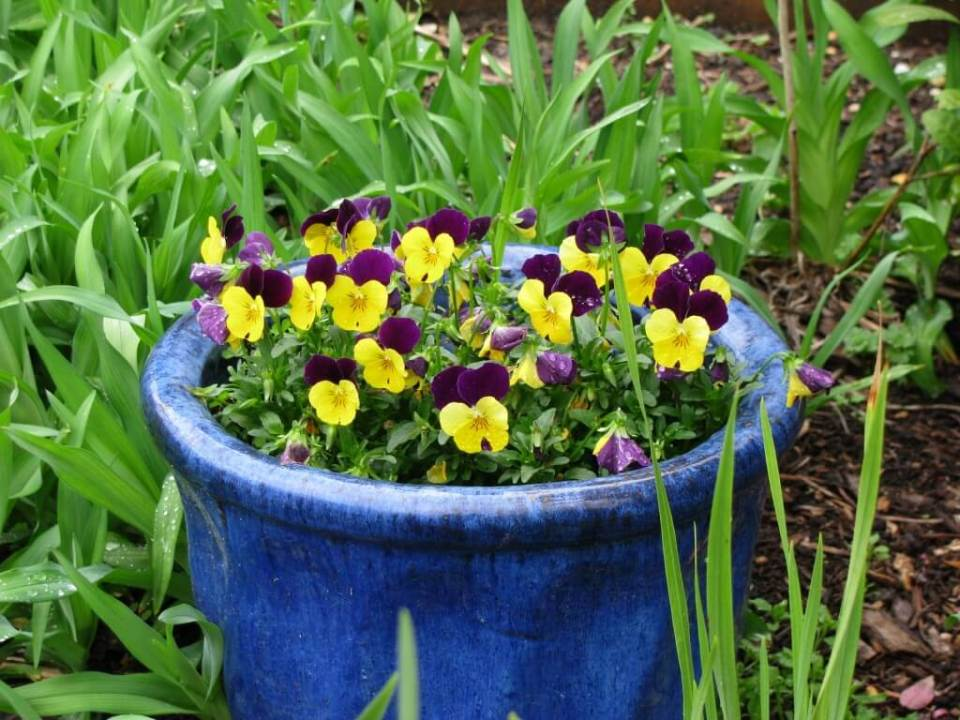 Johnny Jump Ups | Low-maintenance flowers and plants