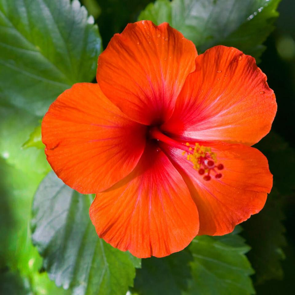 Hibiscus | 10 the best butterfly attracting flowers
