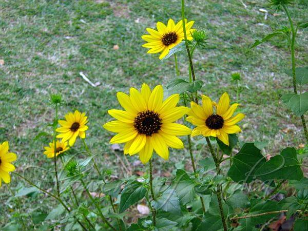 Beach Sunflower | Low-maintenance flowers and plants