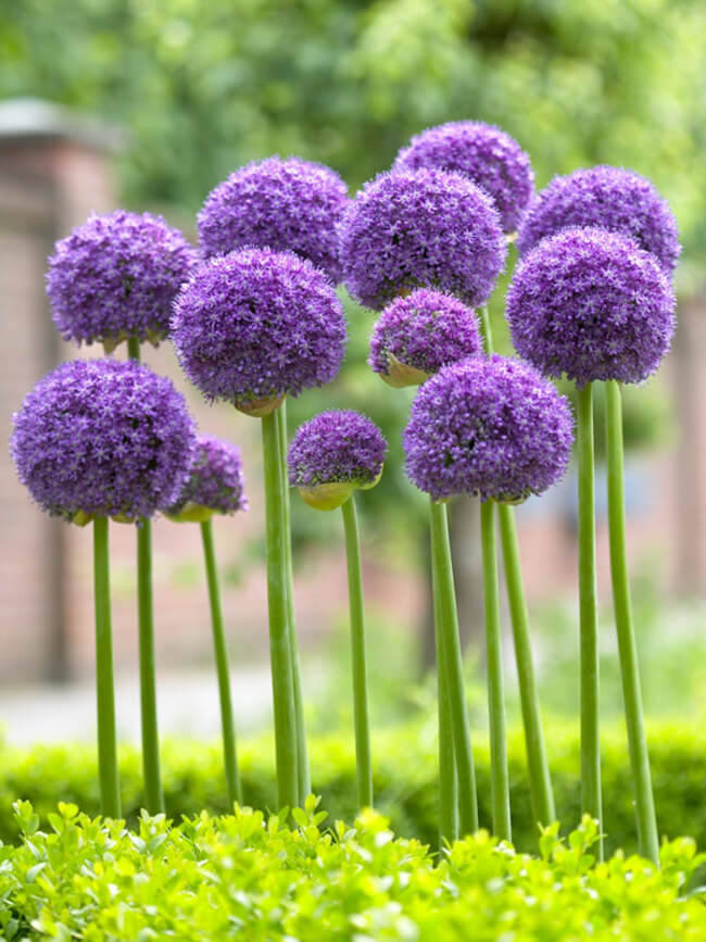 Allium Gladiator | Alliums Deer Resistant Garden Flowers: Drought Tolerant Ornamental Onion Plants Deter Small Rodents
