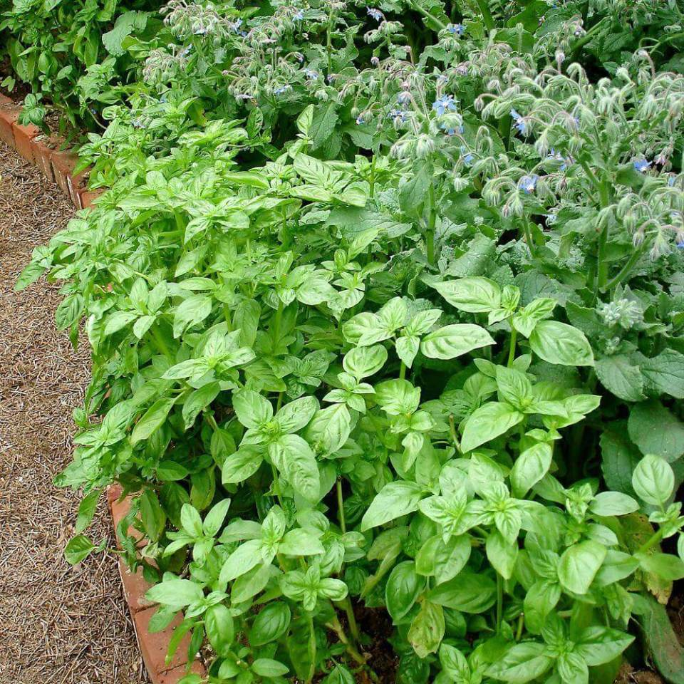 Basil (Ocimum) | How to Use Herbs as Edging