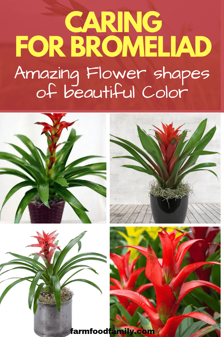 Bromeliad, the Unusual Houseplant: Amazing Foliage and Flower shapes of beautiful Color