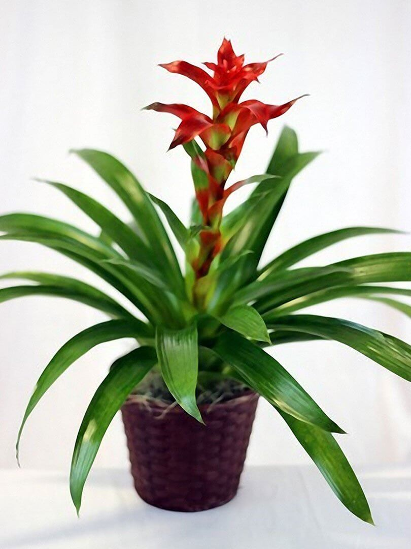 Broomeliad houseplant
