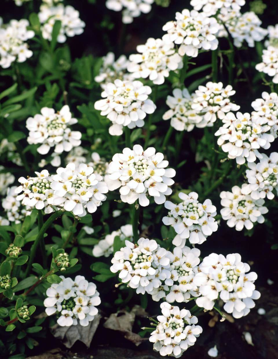 Candytuft (Iberis) | Perennial Flowers All Season: Perennial Garden Design Guide for Blooms in Spring Summer and Fall