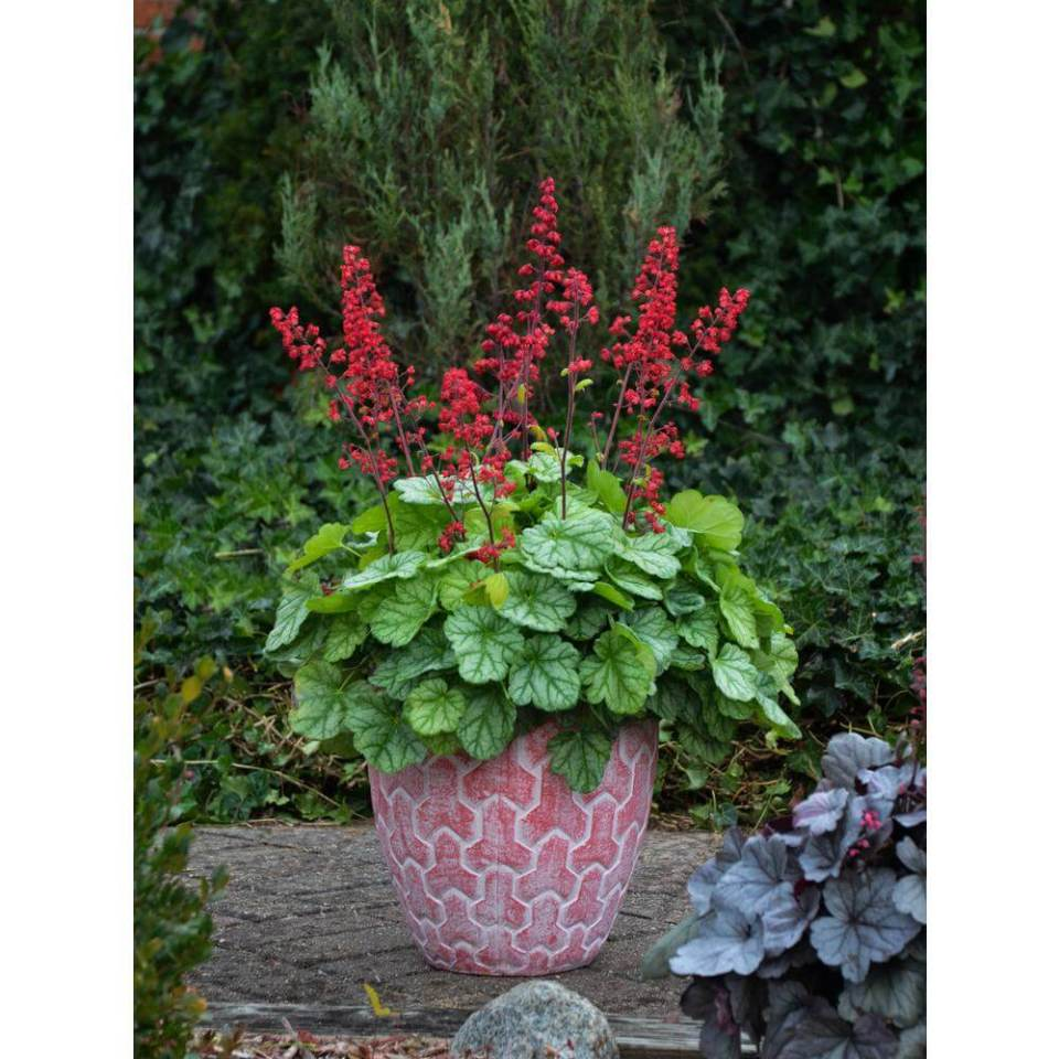 Coral Bells (Heuchera) | Perennial Flowers All Season: Perennial Garden Design Guide for Blooms in Spring Summer and Fall