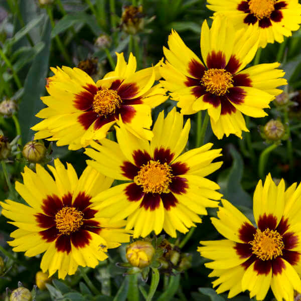Coreopsis | Perennial Flowers All Season: Perennial Garden Design Guide for Blooms in Spring Summer and Fall