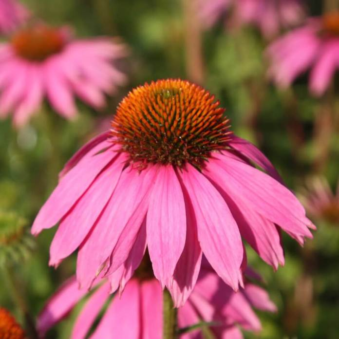 Echinacea angustifolia, E. purpurea | Designing and Planting a Medicinal Herb Garden