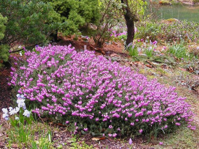 Erica carnea (winter flowering heathers) | Flowering Plants to Brighten the Winter Garden: Trees, Shrubs and Perennials with Blooms to Sparkle in Short Days