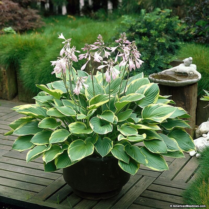 Hosta | Perennial Flowers All Season: Perennial Garden Design Guide for Blooms in Spring Summer and Fall