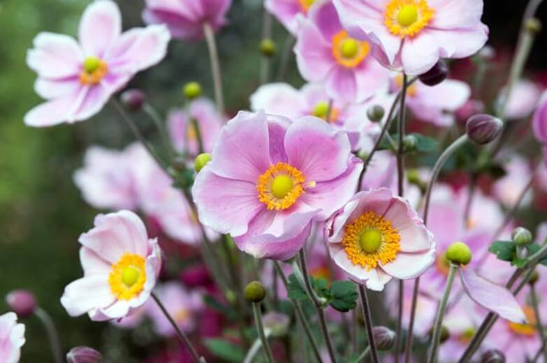 Windflower or Japanese Anemone | Perennial Flowers All Season: Perennial Garden Design Guide for Blooms in Spring Summer and Fall