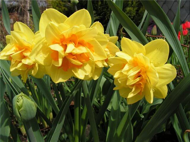 Narcissus Magellan | Daffodil Bulb Ideas for Autumn Gardening: Fall Bulb Planting Brings Narcissus Spring Flowers