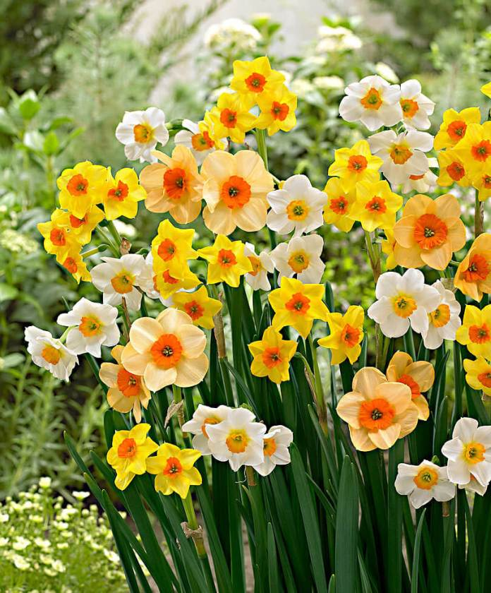 Narcissus jonquilla | Daffodil Bulb Ideas for Autumn Gardening: Fall Bulb Planting Brings Narcissus Spring Flowers