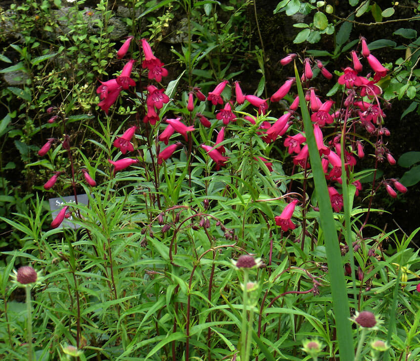 Penstemon | Perennial Flowers All Season: Perennial Garden Design Guide for Blooms in Spring Summer and Fall