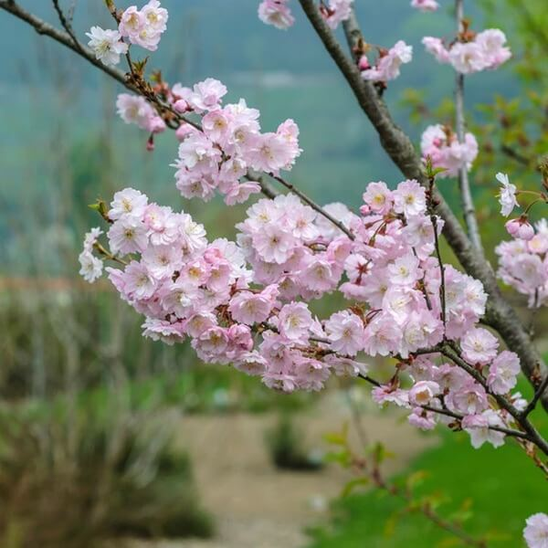 Prunus x subhirtella | Flowering Plants to Brighten the Winter Garden: Trees, Shrubs and Perennials with Blooms to Sparkle in Short Days