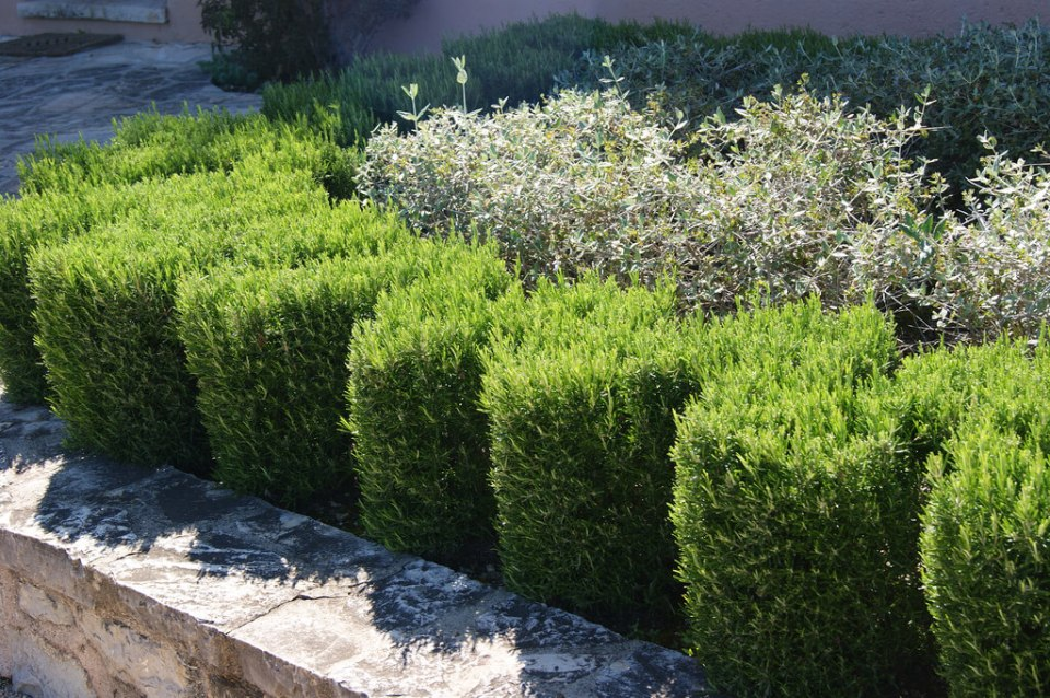 Rosemary (Rosmarinus officinalis) | How to Use Herbs as Edging