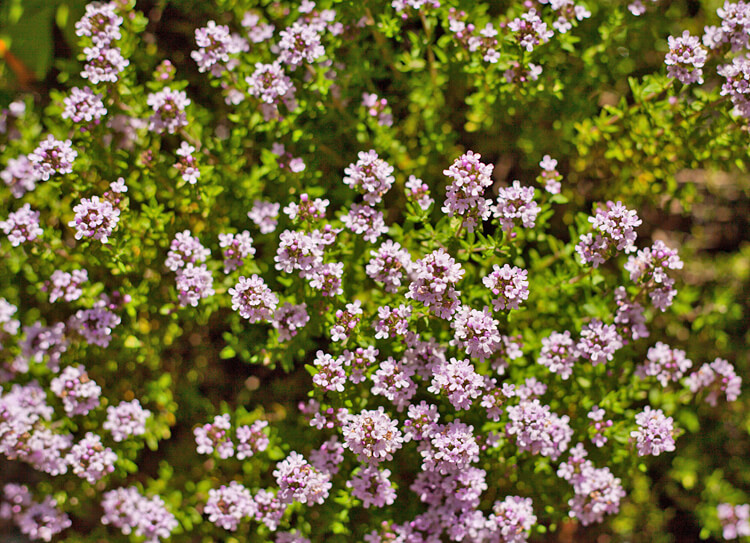 Thyme | An Herb Butterfly And Bee Garden: Herb Gardening with a View Toward Attracting Insect Pollinators