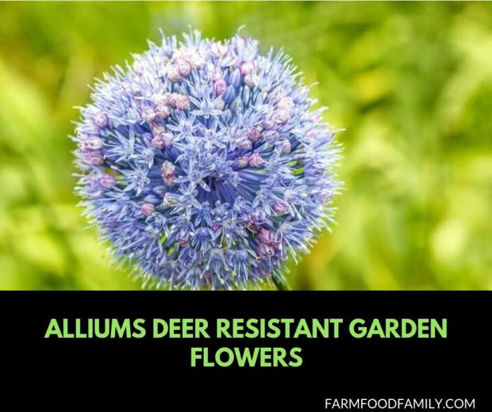 Alliums Deer Resistant Garden Flowers: Drought Tolerant Ornamental Onion Plants Deter Small Rodents
