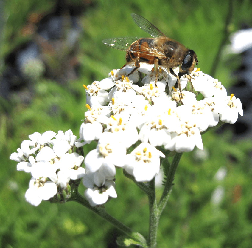 Yarrow | An Herb Butterfly And Bee Garden: Herb Gardening with a View Toward Attracting Insect Pollinators