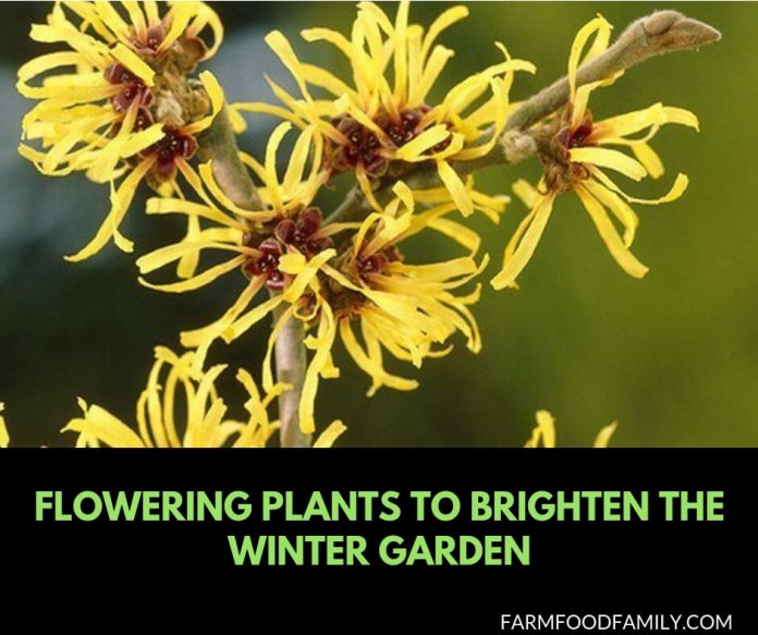 10 Flowering plants to brighten the winter garden