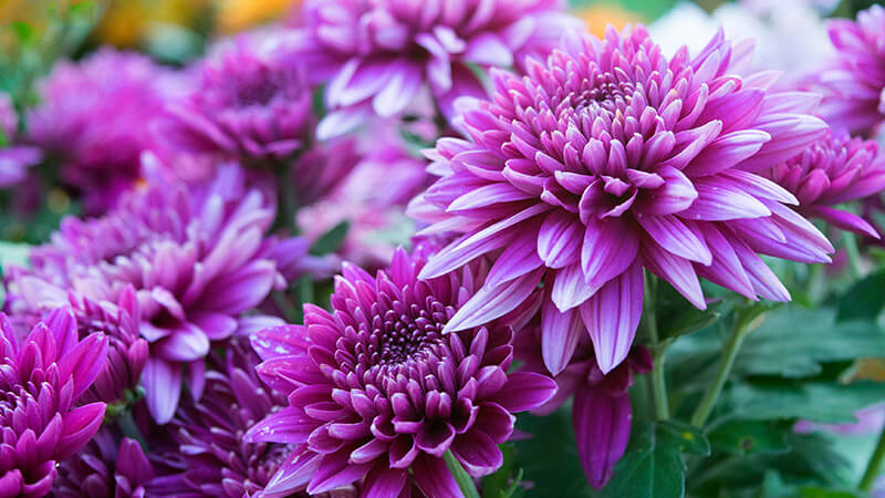 Chrysanthemum | Fall Perennials for a Splendid Array of Flowers
