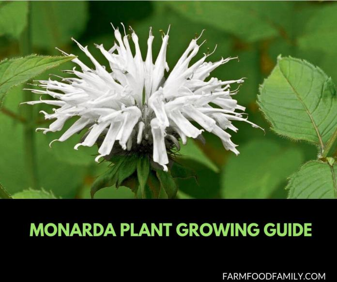 Growing and caring Monarda plant