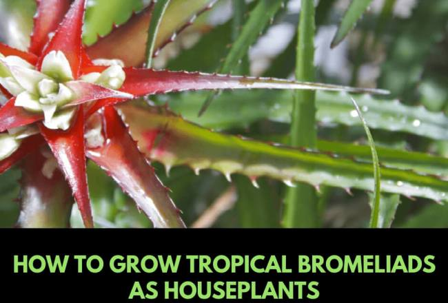 How to grow tropical bromeliads as houseplants
