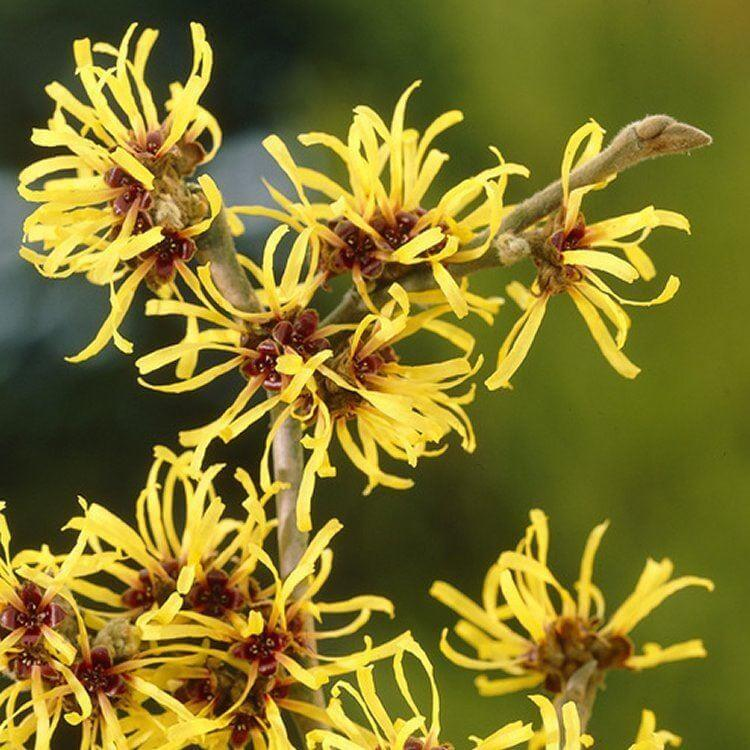 Hamamelis mollis 'Pallida' | Flowering Plants to Brighten the Winter Garden: Trees, Shrubs and Perennials with Blooms to Sparkle in Short Days