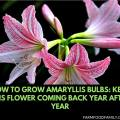How to grow Amaryllis Bulbs: Keep this flower coming back year after year
