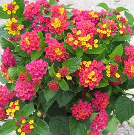 Lantana | Drought Tolerant Plants Attracting Pollinators: Try Xeriscape Gardening and Attract Bees Butterflies Hummingbirds