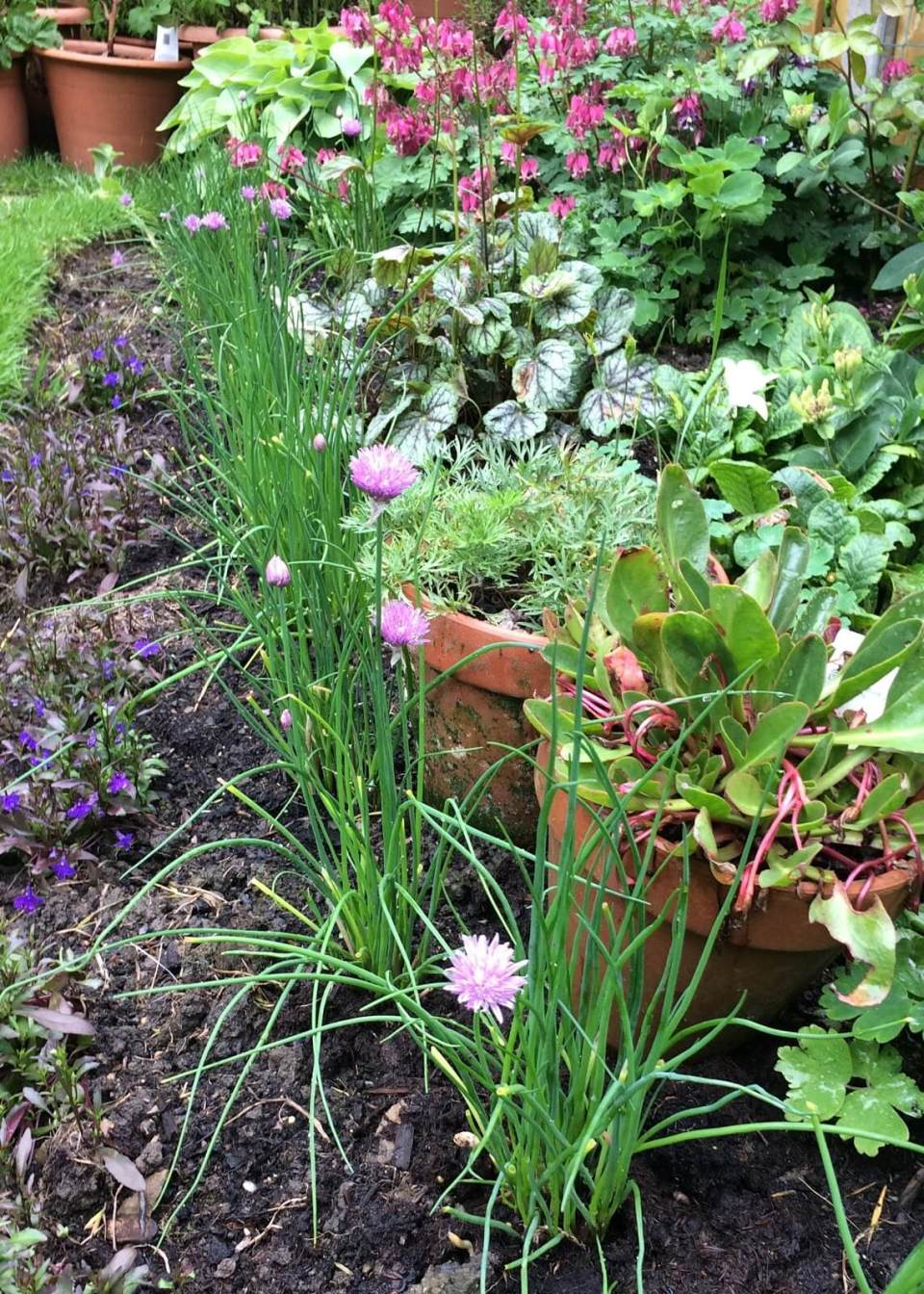 Onion Chives (Allium schoenoprasum) | How to Use Herbs as Edging