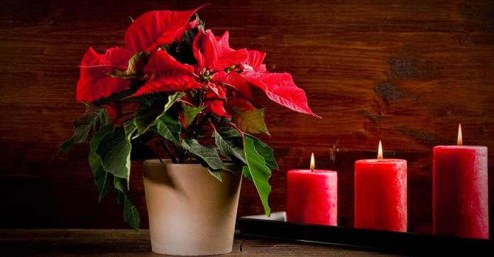 Growing Christmas Poinsettias: Saving and Caring For Your Holiday Gift Container Plants