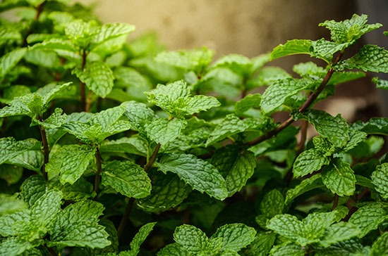 Growing Mint in the Shade