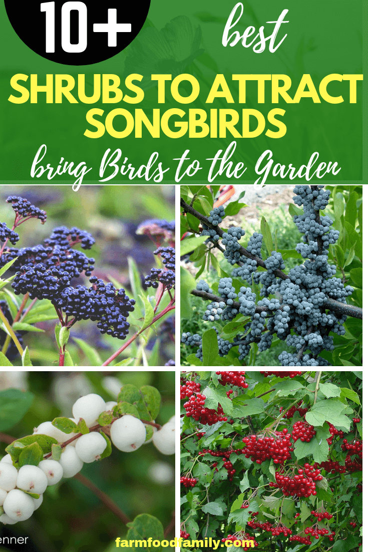 Shrubs for Attracting Songbirds: How Bushes Bring Birds to the Garden With Food and Shelter