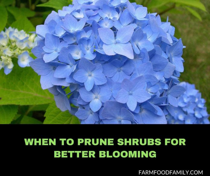 When to Prune Shrubs For Better Blooming?